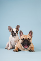 French bulldog puppy and adult dog
