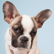 canvas print picture - French bulldog puppy