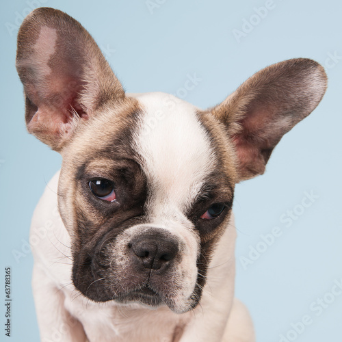 canvas print picture French bulldog puppy