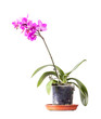 Domestic pink orchid flower in pot isolated on white