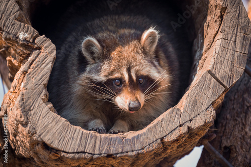 Portrait of raccoon
