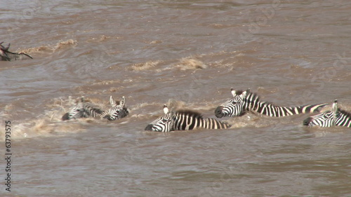 zebras trying desperately to cross the river