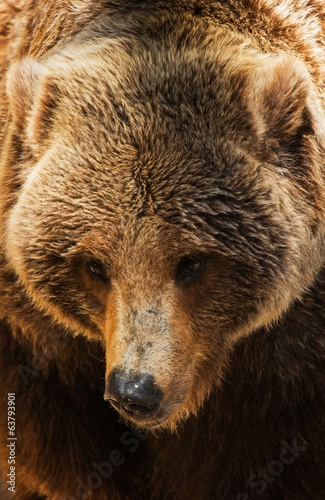 Grizzly Bear Closeup