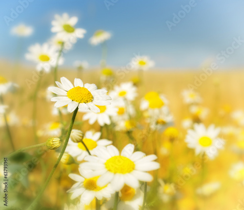 wild white daisies in the wind