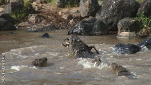 crocodiles tearing up a wildebeest and sharing together