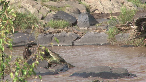 crocodile trying to kill a gnu while crossing mara river