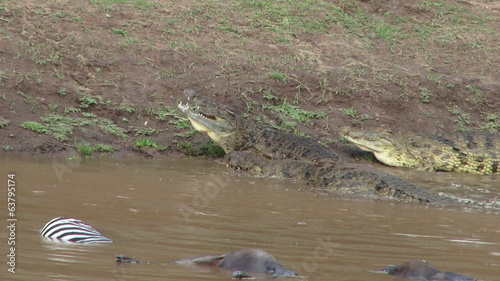 Nile crocodiles feeding on dead wildebeests