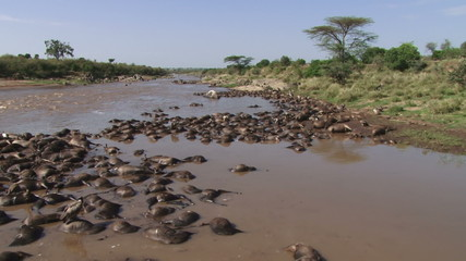 A lot dead wildebeests in a river