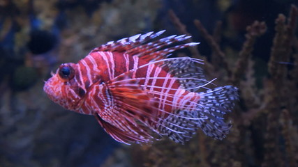 Lionfish swimming on the dark background