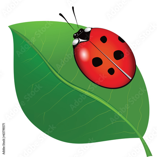 ladybird on the leaf