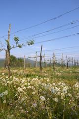 vigne e soffioni