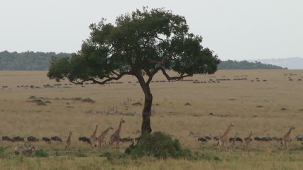 A lot of animals during wildebeests migration