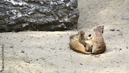 Funny family of meerkats with cubs.