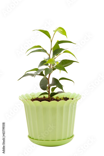 ficus in a green pot on a white background