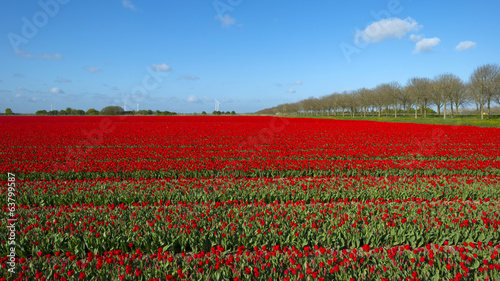 Field with tulips in spring