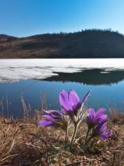 Bright  pasque-flower on the shore of  Baikal Lake