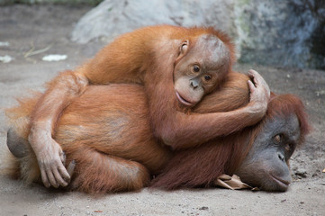 Orang Utanmutter mit Kind