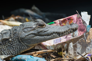 Young West African Crocodile in the garbage