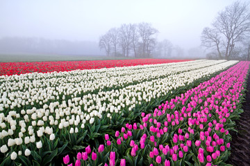 Tulips in rows on a misty morning