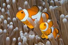 Klaun ryb patrząc na ciebie z zawilec