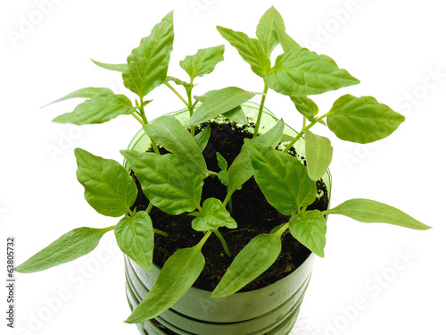 pepper seedlings growing in plastic cup