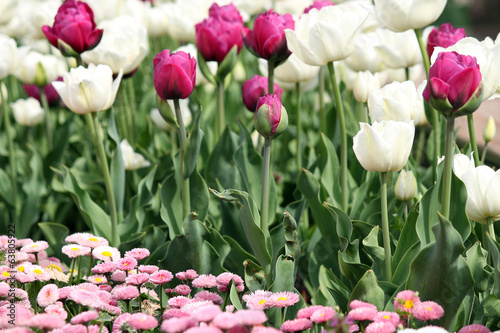 garden with tulip and daisy flower