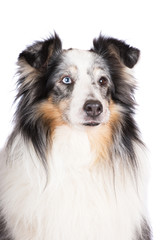 sheltie dog portrait