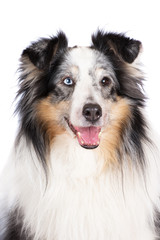 merle sheltie dog portrait