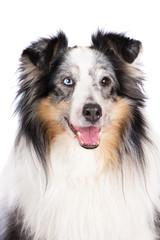 merle sheltie dog portrait