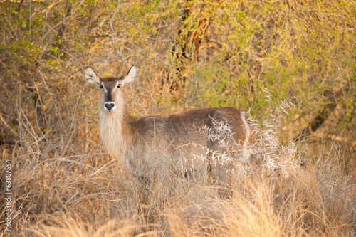 Female Water buck in late afternoon light, Kruger National Park