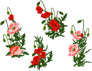set of four red poppy flowers on white