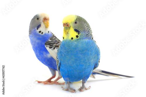 papugi,-biale-tlo