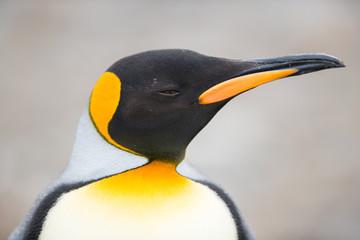 Closeup of King penguin, South Georgia, Antarctica