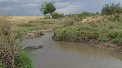 hippo in the water, watched by two lions