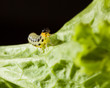 Caterpillar on lettuce