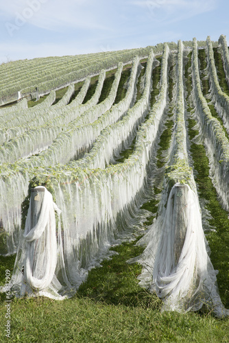 Rows of vines covered in plastic netting to protect grapes