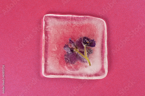 violet flowers frozen at ice