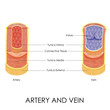 ������, ������: Artery and Vein