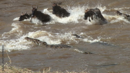 Many nile crocodiles hunting wildebeests