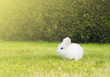 little white bunny on  lawn in garden