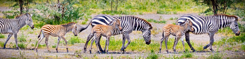 Zebras with young in Tanzania.
