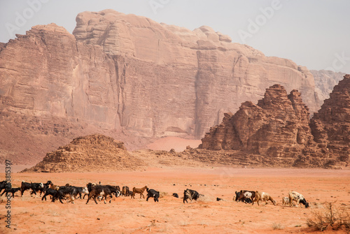 Herd cattle in Wadi Rum desert, Jordan