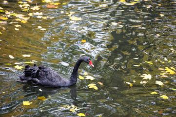 Beautiful young black swan in lake