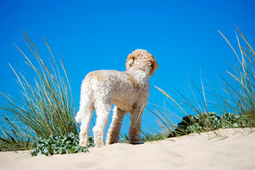 Hund auf Sanddüne