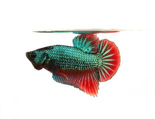 colorful siamese fighting fish