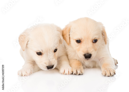 two golden retriever puppy dog lying together. isolated on white