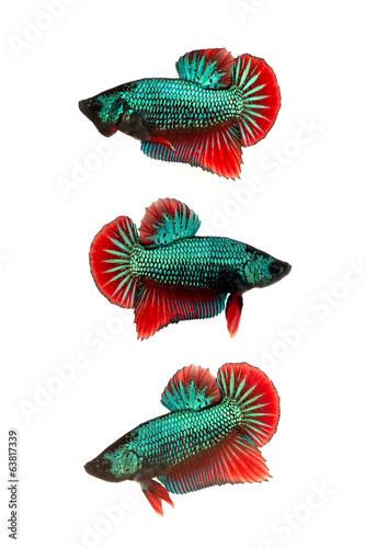 colorful siamese fighting fish