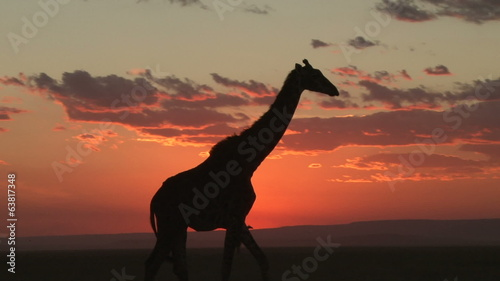 Giraffe with the setting sun in the background