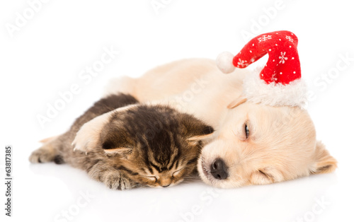 golden retriever puppy dog  with santa hat and british cat sleep