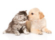 golden retriever puppy dog kisses british tabby cat